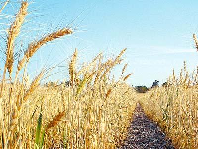 Geadas atingem trigo do Paraná; café e cana em SP e MG são poupados